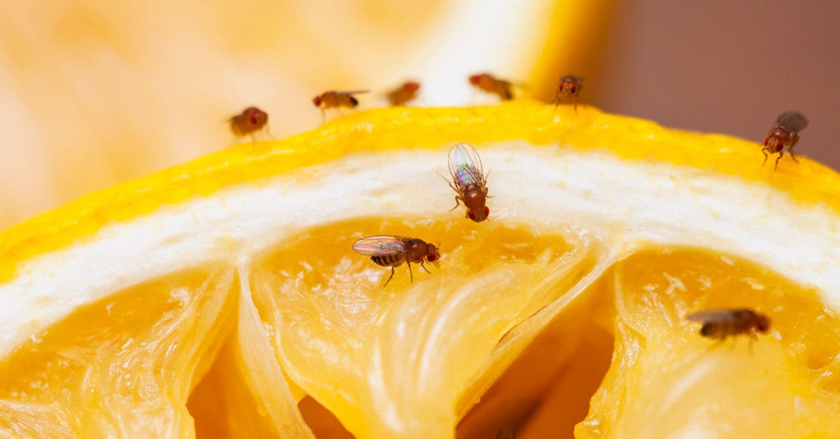 4 astuces de génies pour éliminer les mouches à fruits
