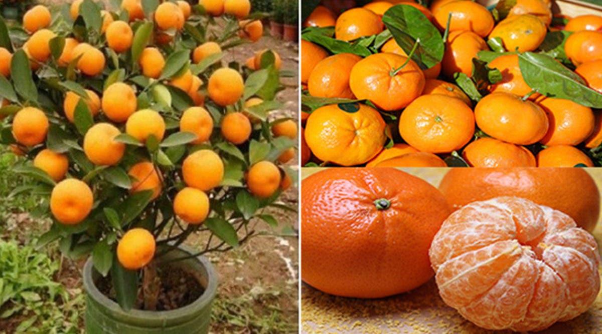 nachetez-plus-jamais-de-mandarines--apprenez-a-les-planter-pour-en-avoir-en-illimite-a-la-maison