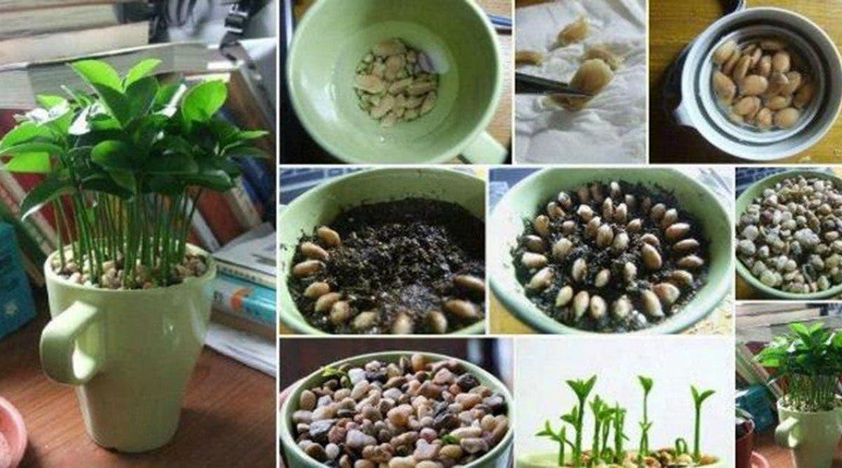 Voici comment faire pousser du citron dans une tasse et avoir un bon parfum tous les jours à la maison