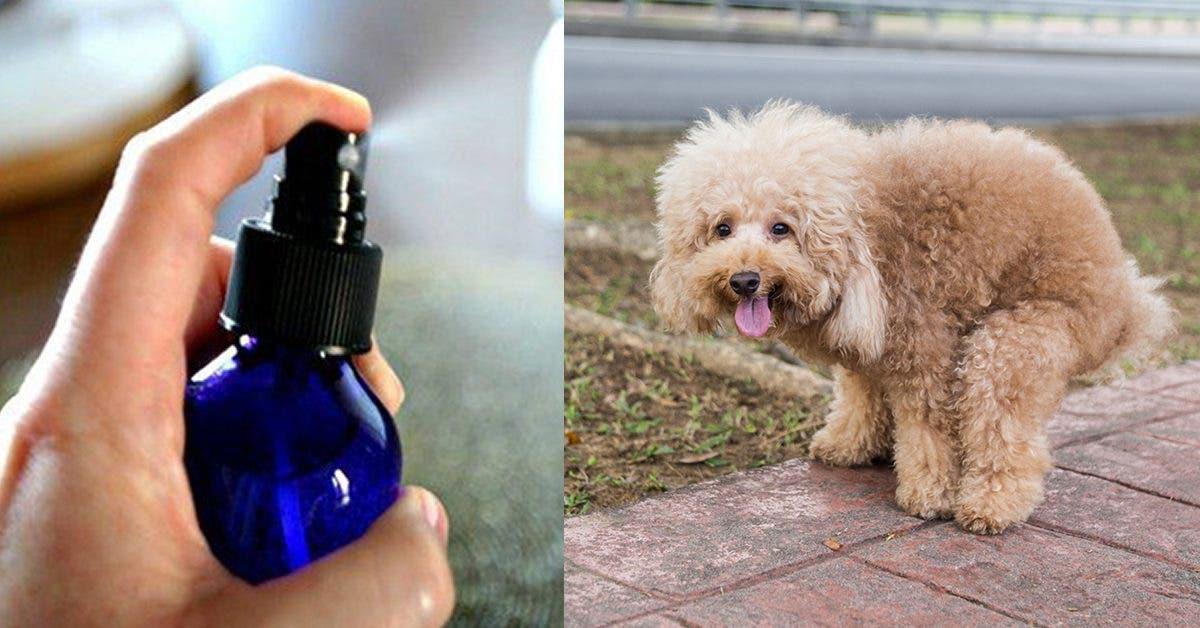 Comment éliminer l'odeur des crottes de chien dans la maison ?
