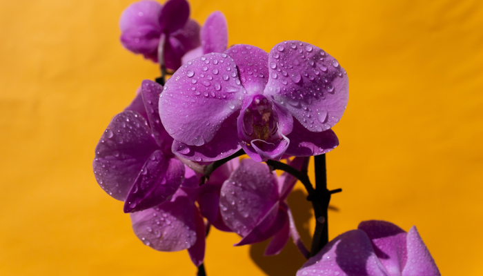 orchidees2