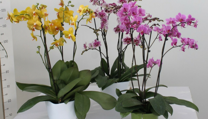 orchideespot
