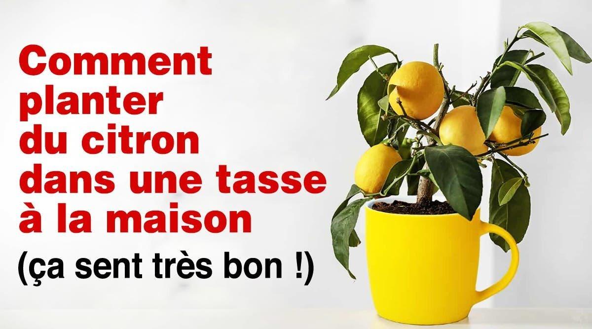 citron dans une tasse