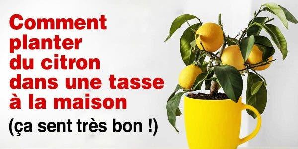 oui-il-est-possible-de-faire-pousser-du-citron-dans-une-tasse-a-la-maison