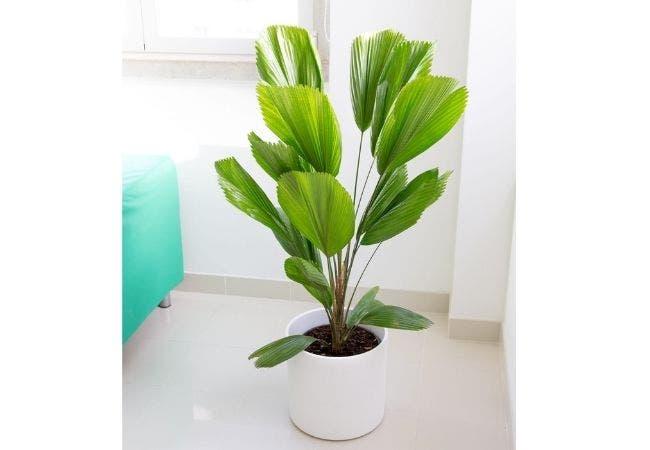 palmier cuilliere