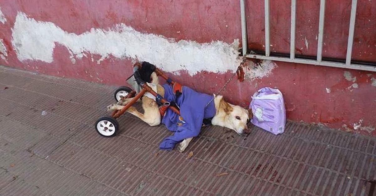 paralyse et avec une chaise roulante cassee ce chien est abandonne avec un sac de couches dans la rue 1