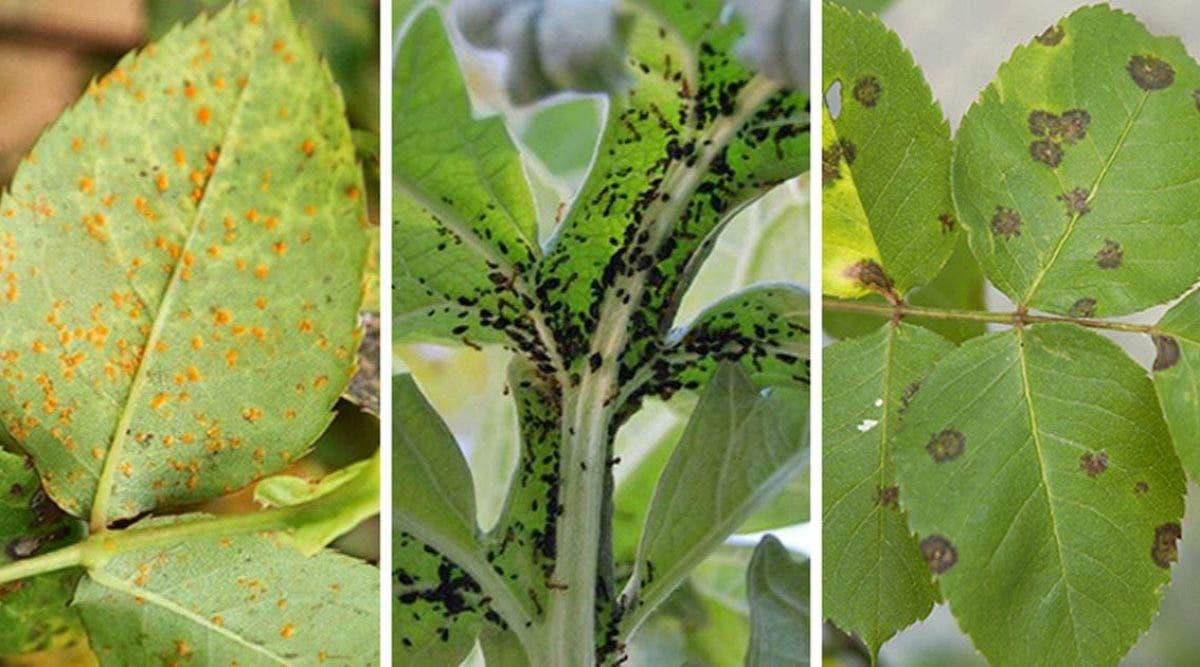parasites-et-pucerons-10-remedes-naturels-pour-les-eloigner-naturellement