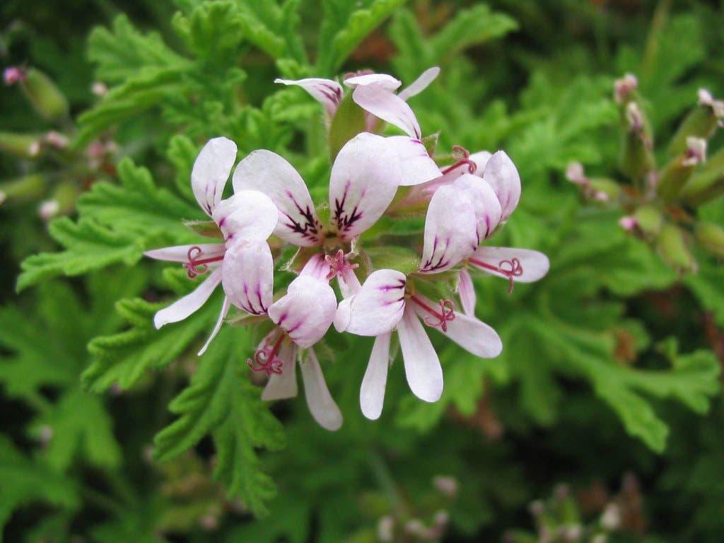 pelgaronium