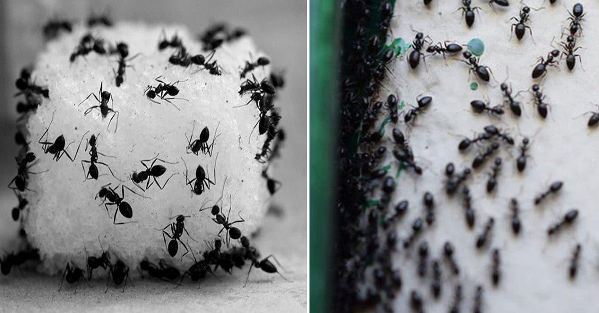 Piège à fourmis : exterminez-les pour toujours sans utiliser de pesticides