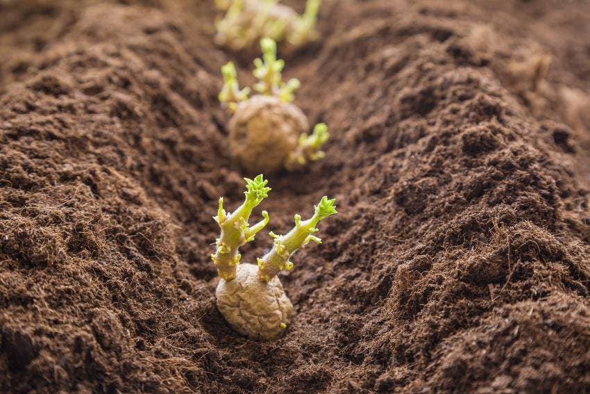 plante pomme de terre