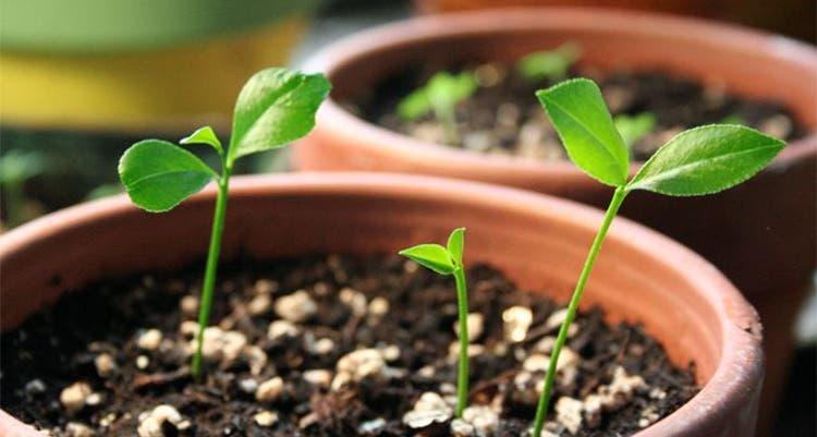 planter citrons