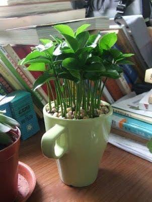 planter du citron dans une tasse et votre maison sentira toujours bon