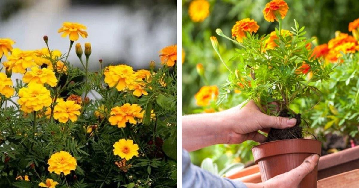 Voici 10 plantes anti-moustiques faciles à cultiver