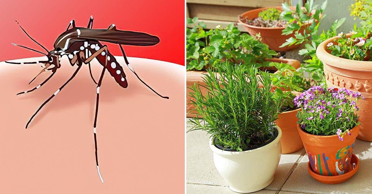 4 plantes anti-moustiques faciles à cultiver