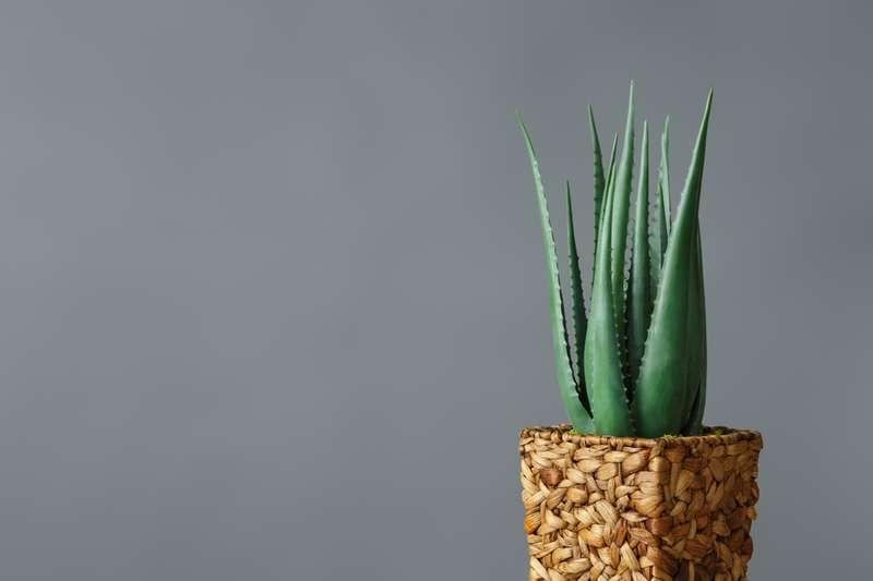 plantes qui apportent de mauvaises énergies chez vous à la maison