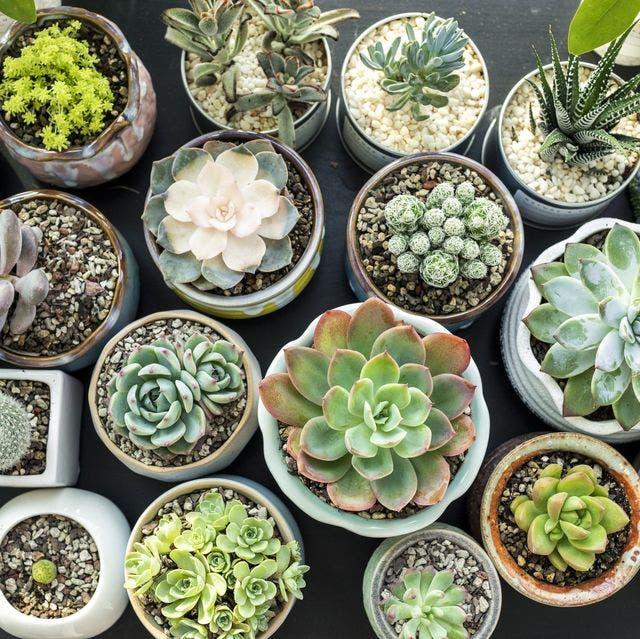 plantes succulantes