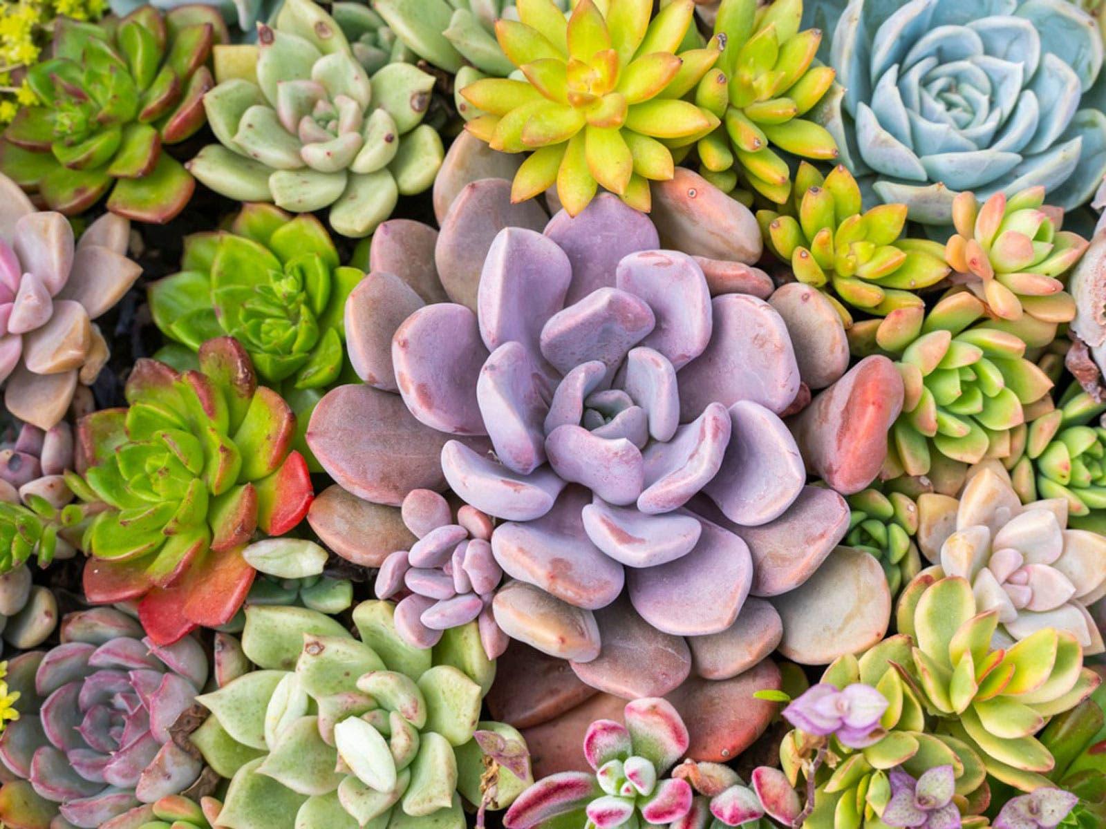 plantes suculentes