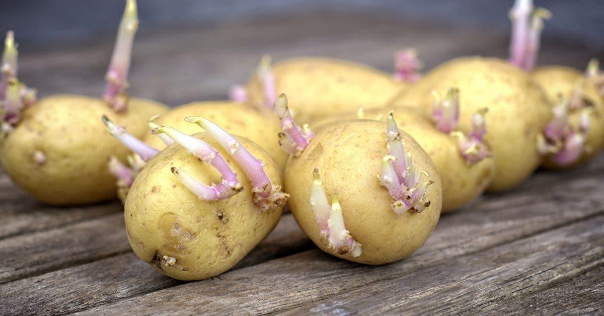 Pommes de terre germées : Pouvez-vous les manger ?