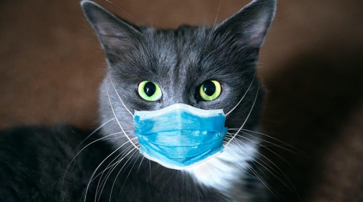 pouvons-nous-transmettre-le-covid-19-aux-chats
