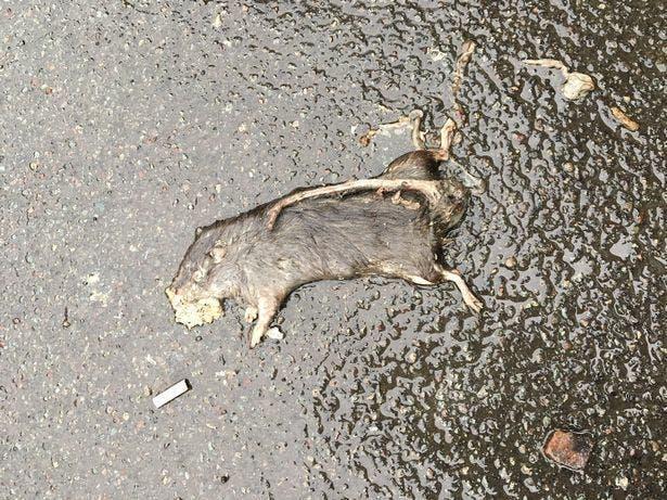 rat mort