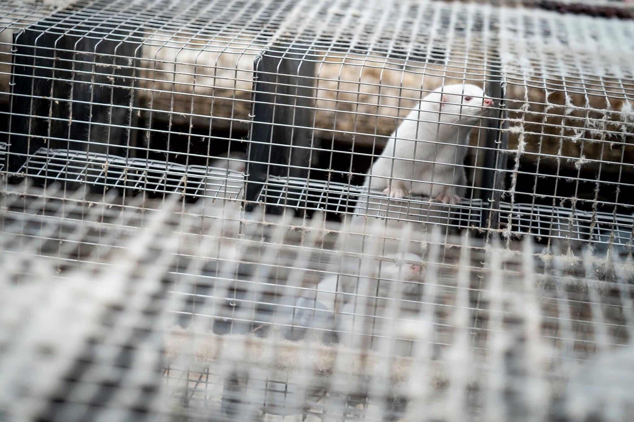 rats de laboratoire