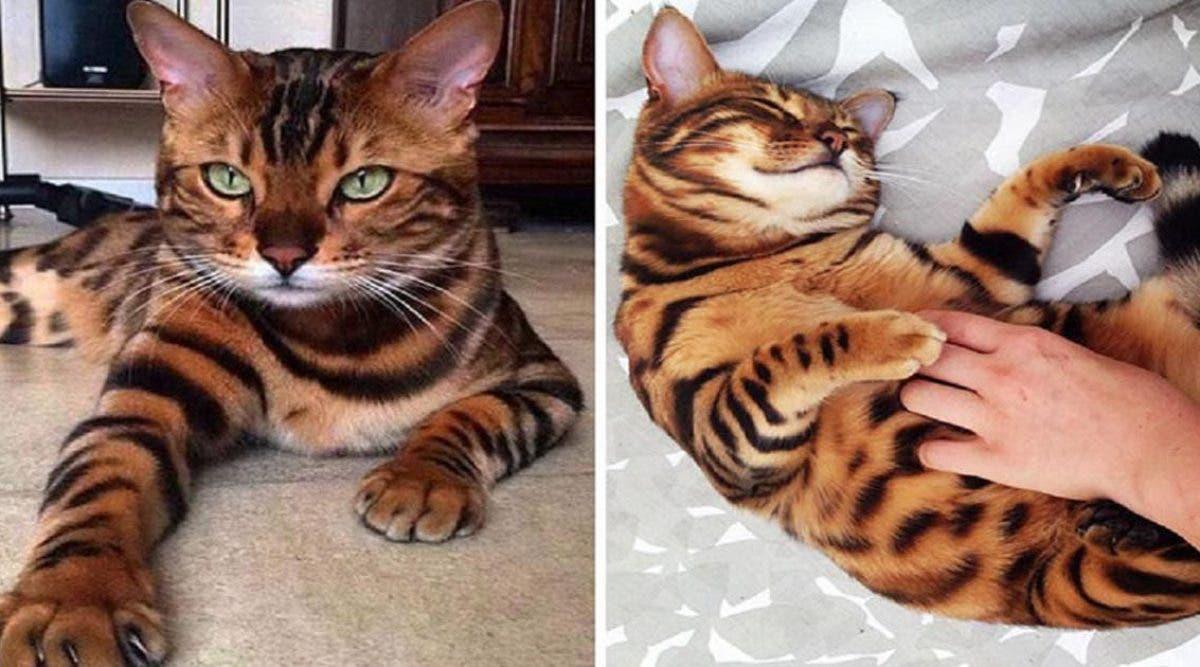 rencontrez-thor-le-plus-beau-chat-bengal-au-monde