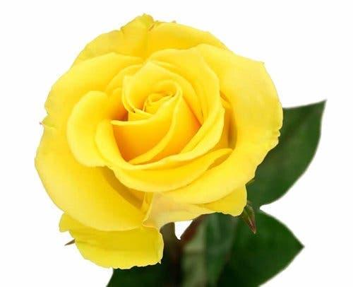 La rose que vous allez choisir va révéler de beaux secrets sur votre personnalité