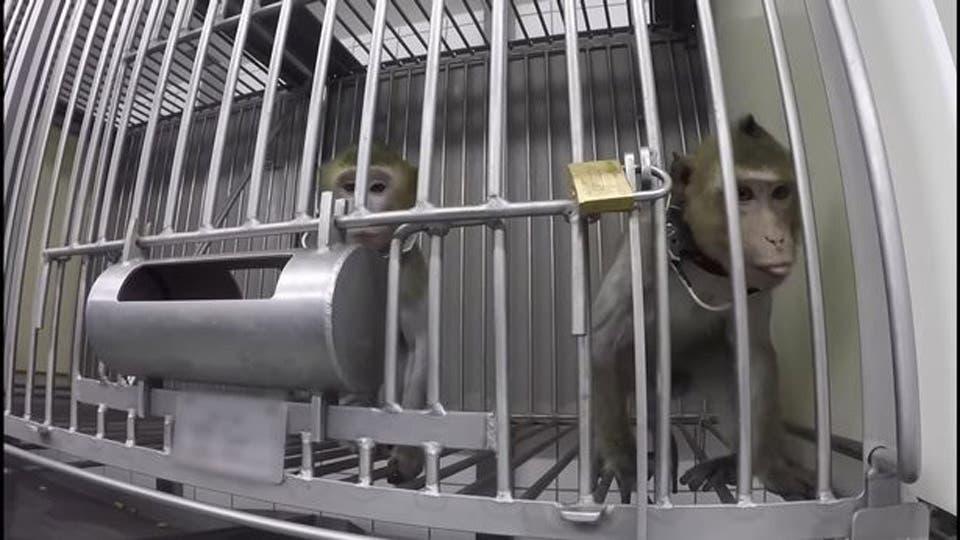 singes enfermes