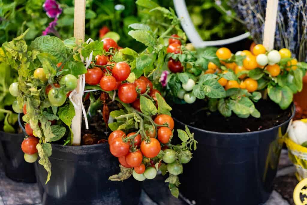 tomates en pot