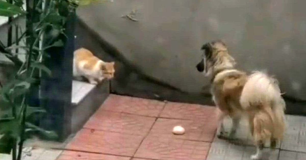 un-chien-donne-sa-nourriture-a-un-chat-errant-et-affame-video