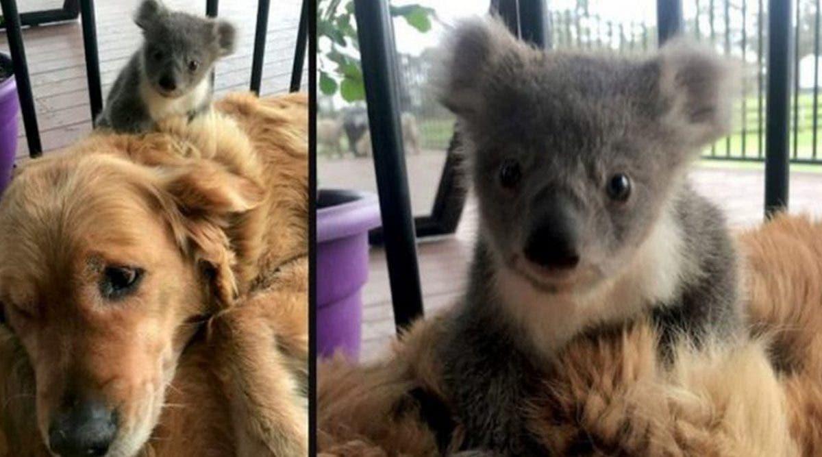 un-heroique-rentre-a-la-maison-avec-un-bebe-koala-dont-il-vient-de-sauver-la-vie