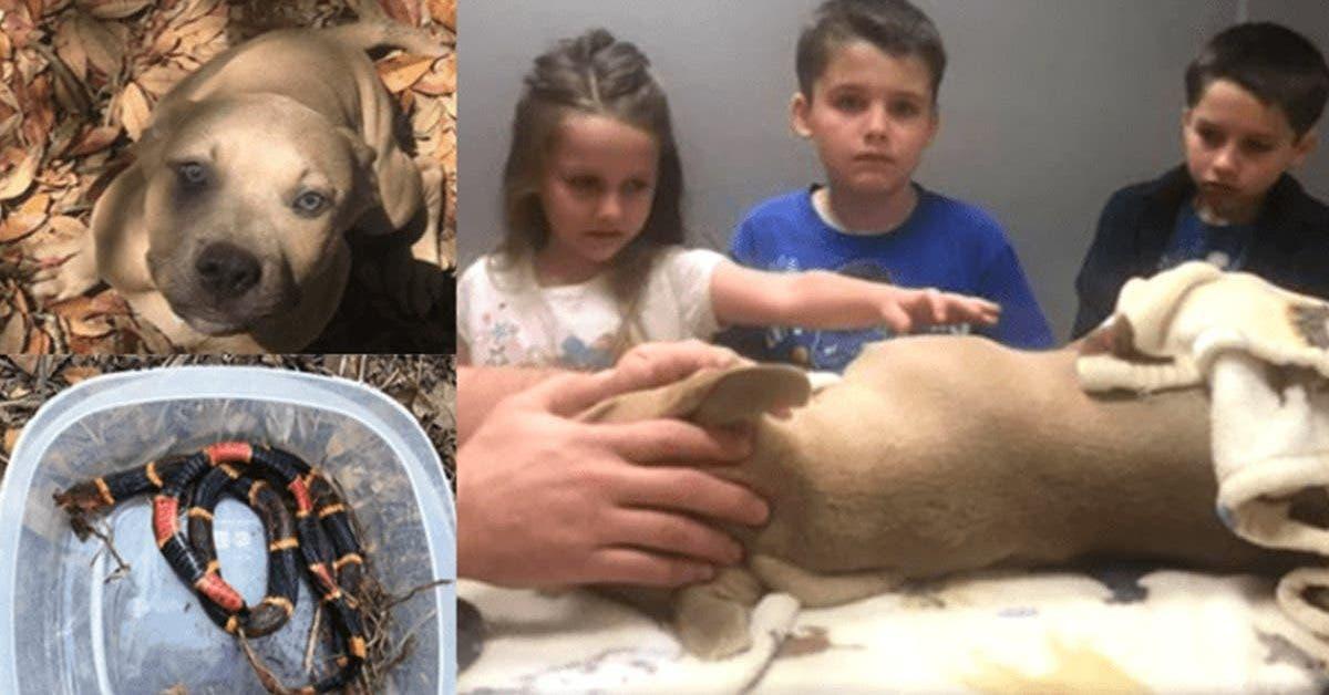 un-pitbull-de-8-mois-sest-battu-contre-un-serpent-tueur-pour-sauver-sa-famille