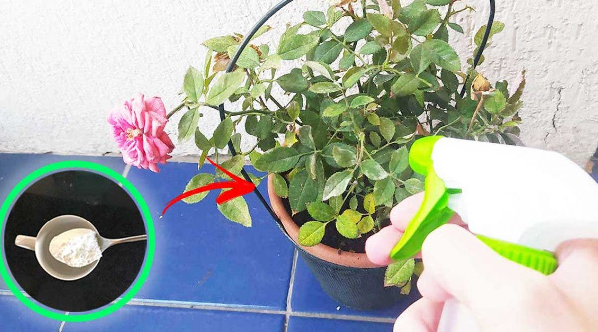 une-astuce-magique-au-bicarbonate-de-soude-pour-avoir-de-belles-plantes-meme-en-hiver
