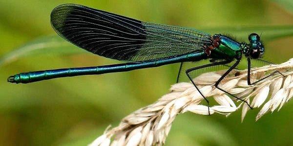 une-libellule-peut-manger-des-centaines-de-moustiques-quotidiennement-voila-comment-lattirer-dans-votre-jardin