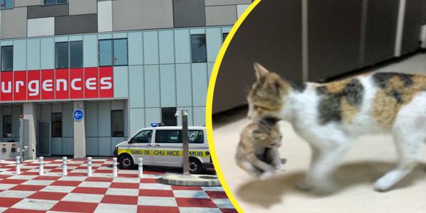 une-maman-chat-transporte-son-bebe-chaton-a-lhopital-pour-demander-de-laide
