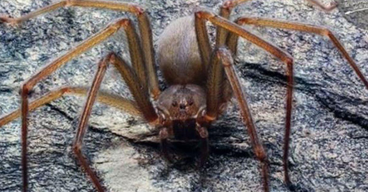 une-nouvelle-espece-daraignee-venimeuse-se-cache-dans-les-meubles-et-peut-provoquer-une-necrose-sur-la-chair-humaine-en-une-seule-morsure
