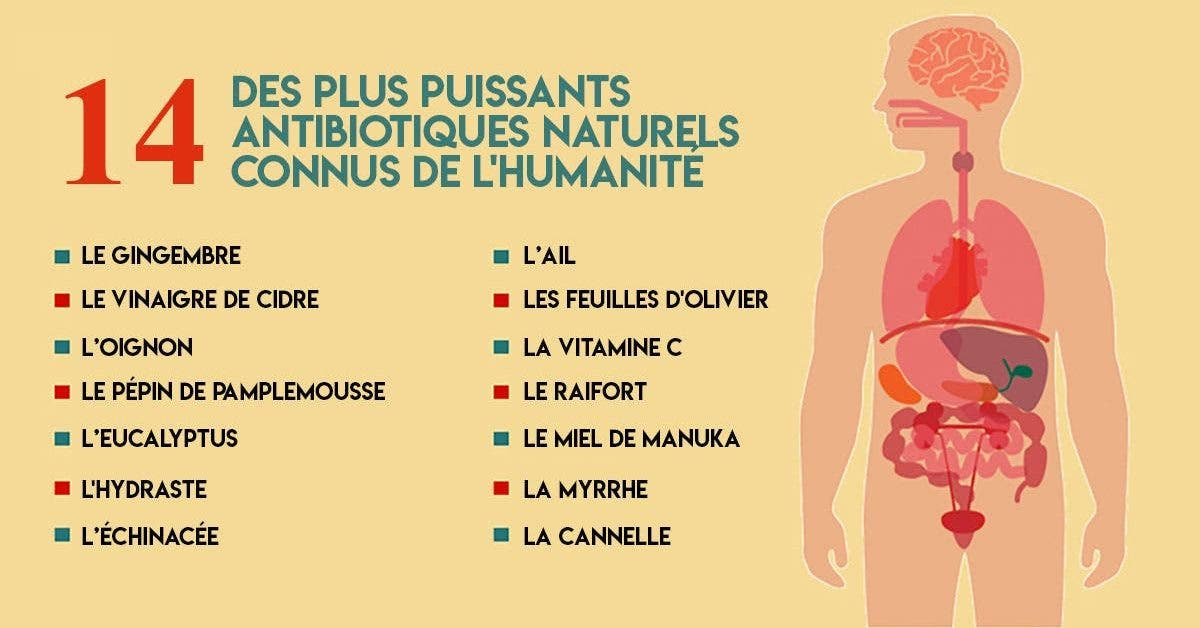 Les antibiotiques chimiques détruisent la flore intestinale