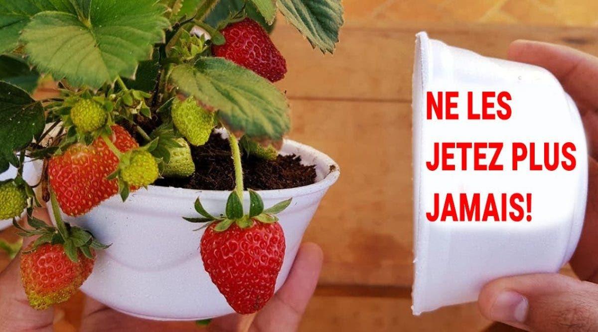 voici-comment-cultiver-des-fraises-a-la-maison-etape-par-etape