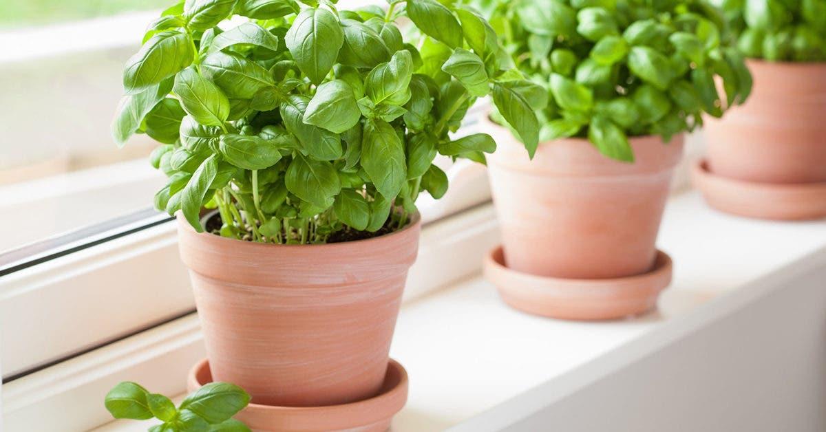 voici-comment-cultiver-du-basilic-a-la-maison-et-le-conserver-plus-longtemps-possible