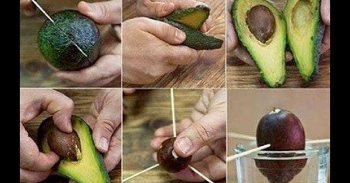 voici comment cultiver lavocat a la maison 1