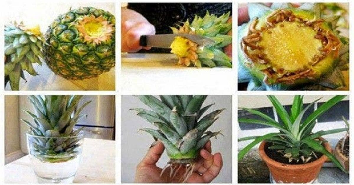 voici comment cultiver un ananas a partir de ses restes 1