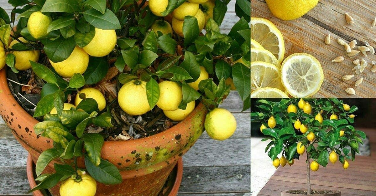 voici comment cultiver un nombre illimite de citrons dans votre propre cuisine 1 graine est tout ce dont vous avez besoin 1 1