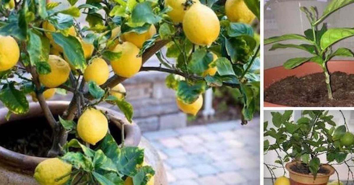 voici-comment-faire-pousser-facilement-un-citronnier-a-partir-de-graines-dans-votre-propre-maison