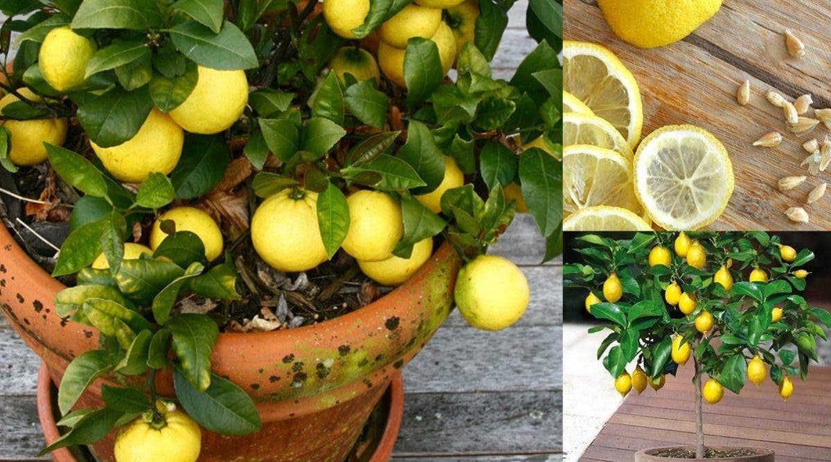 Arrêtez de gaspiller de l'argent en achetant des citrons – voici comment faire pousser une quantité infinie de citrons à la maison