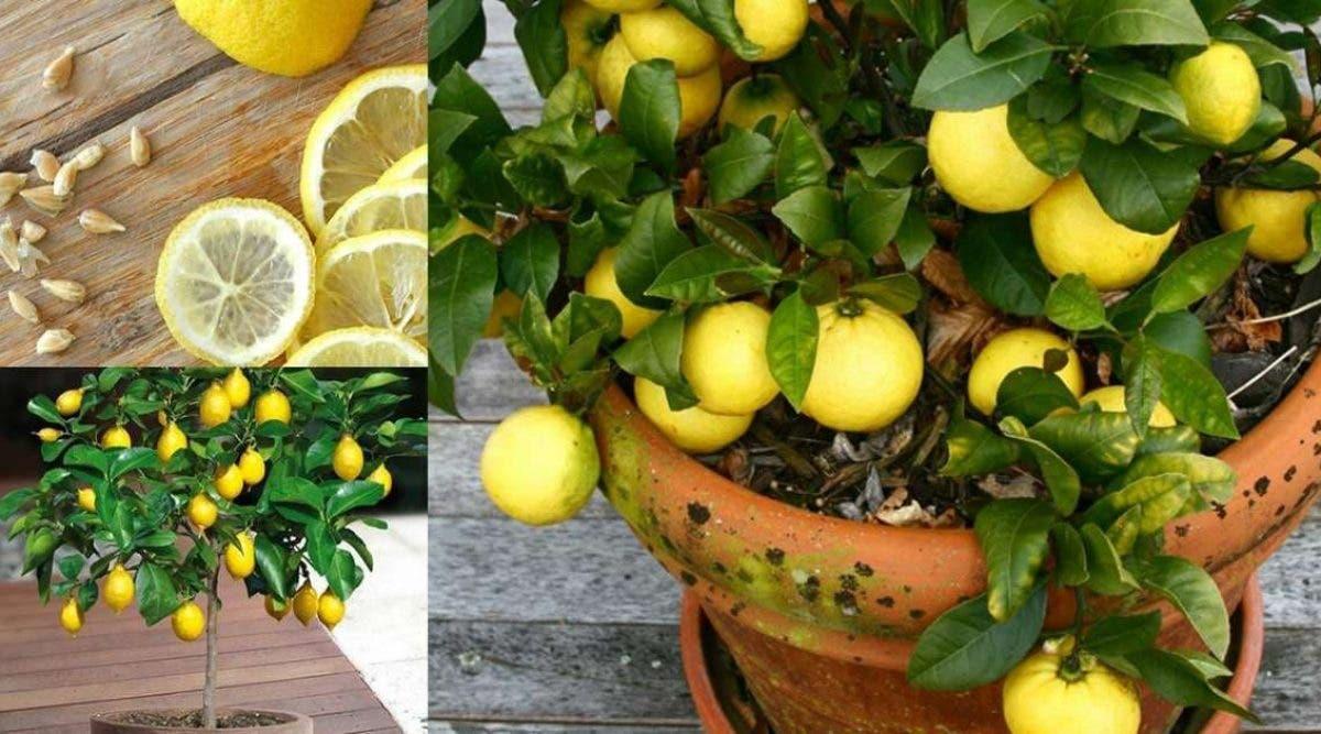 voila comment faire pousser une quantité infinie de citrons à la maison