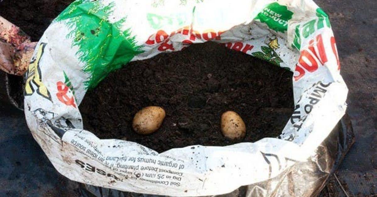 vous naurez plus besoin dacheter de pommes de terre grace a cette astuce 1
